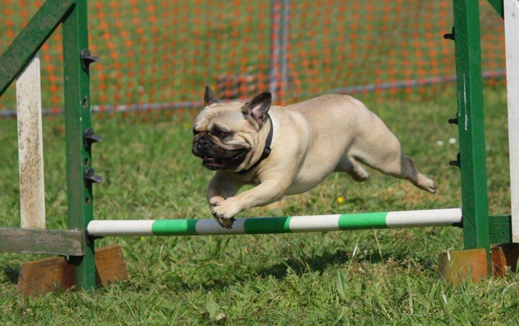 dog, pug, training